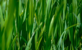 green lawn grass detail