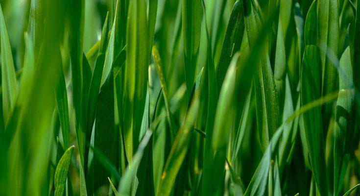 green lawn grass detail