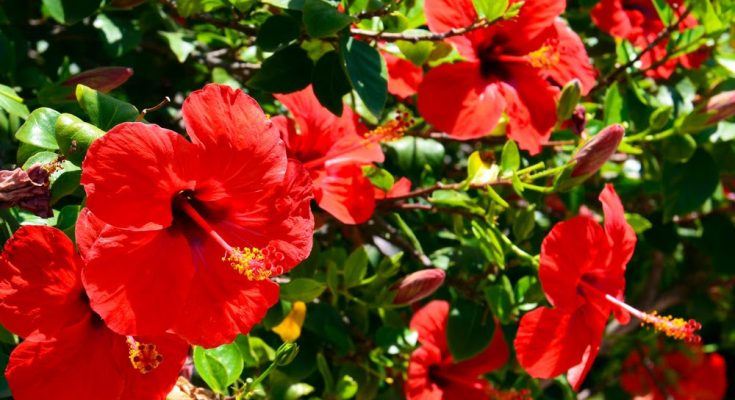 how to grow hibiscus plant